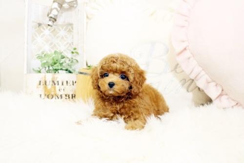 トイプードルの子犬(ID:1255411918)の3枚目の写真/更新日:2018-02-26