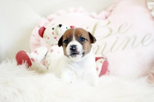 ジャックラッセルテリアの子犬(ID:1255411919)の1枚目の写真/更新日:2018-02-26