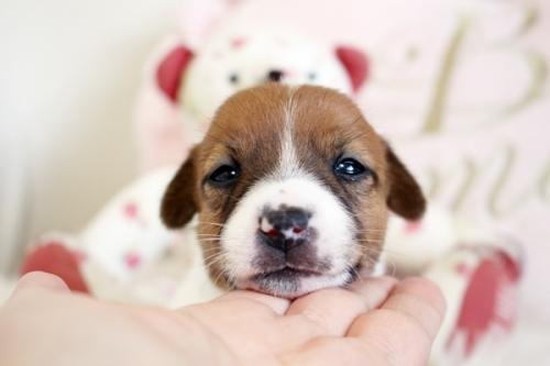 ジャックラッセルテリアの子犬(ID:1255411919)の3枚目の写真/更新日:2019-10-11