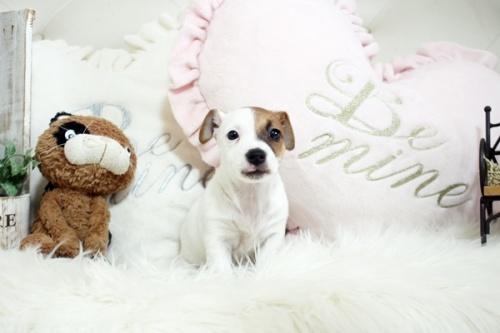ジャックラッセルテリアの子犬(ID:1255411920)の1枚目の写真/更新日:2018-02-26