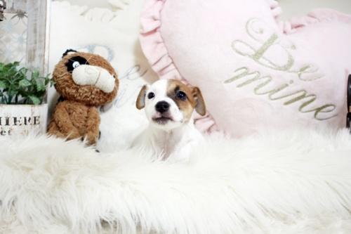 ジャックラッセルテリアの子犬(ID:1255411920)の2枚目の写真/更新日:2018-02-26