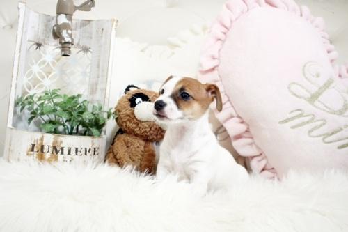ジャックラッセルテリアの子犬(ID:1255411920)の3枚目の写真/更新日:2018-02-26