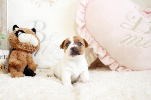 ジャックラッセルテリアの子犬(ID:1255411921)の1枚目の写真/更新日:2020-03-12