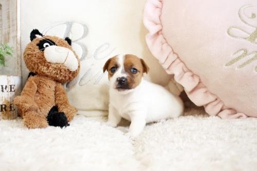 ジャックラッセルテリアの子犬(ID:1255411921)の2枚目の写真/更新日:2020-03-12