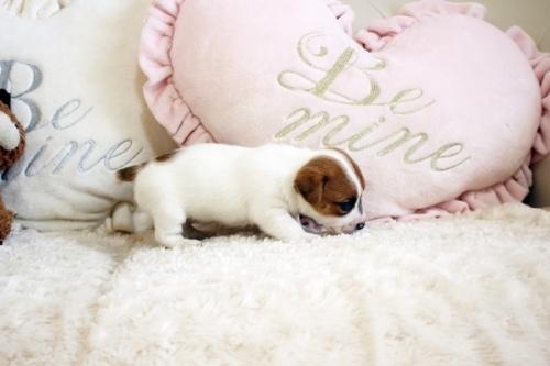 ジャックラッセルテリアの子犬(ID:1255411921)の3枚目の写真/更新日:2020-03-12