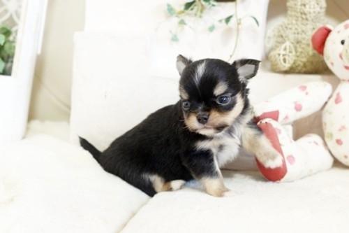 チワワ(ロング)の子犬(ID:1255411922)の2枚目の写真/更新日:2018-03-09