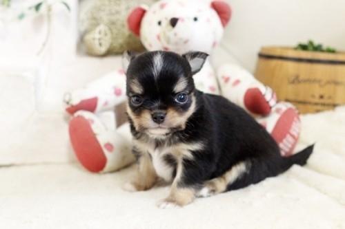チワワ(ロング)の子犬(ID:1255411922)の3枚目の写真/更新日:2018-03-09