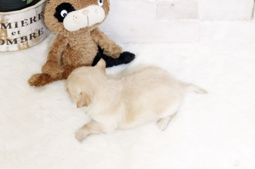 チワワ(ロング)の子犬(ID:1255411923)の3枚目の写真/更新日:2018-03-09