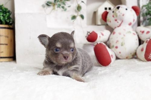チワワ(ロング)の子犬(ID:1255411924)の1枚目の写真/更新日:2018-03-09