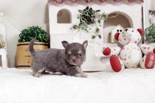 チワワ(ロング)の子犬(ID:1255411924)の2枚目の写真/更新日:2018-03-09