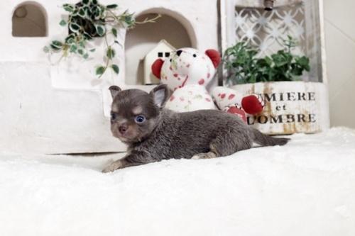 チワワ(ロング)の子犬(ID:1255411924)の3枚目の写真/更新日:2018-03-09