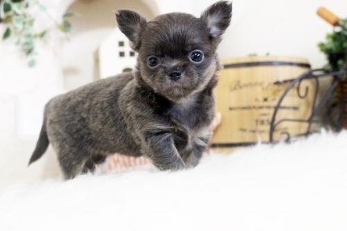 チワワ(ロング)の子犬(ID:1255411925)の1枚目の写真/更新日:2018-03-09