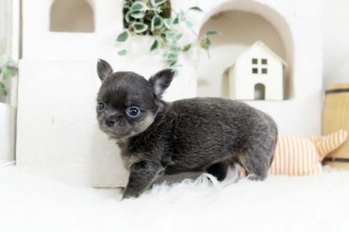 チワワ(ロング)の子犬(ID:1255411925)の2枚目の写真/更新日:2018-03-09