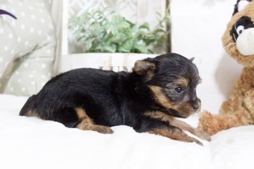 ヨークシャーテリアの子犬(ID:1255411926)の2枚目の写真/更新日:2018-03-09