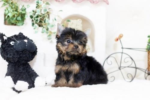 ヨークシャーテリアの子犬(ID:1255411927)の1枚目の写真/更新日:2018-03-09