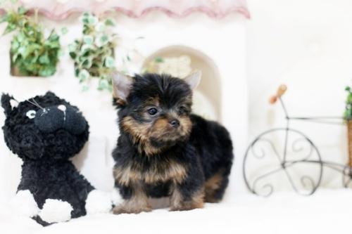 ヨークシャーテリアの子犬(ID:1255411927)の2枚目の写真/更新日:2018-03-09
