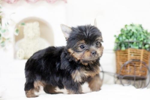 ヨークシャーテリアの子犬(ID:1255411927)の3枚目の写真/更新日:2018-03-09