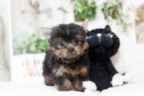 ヨークシャーテリアの子犬(ID:1255411927)の4枚目の写真/更新日:2018-04-17