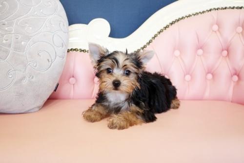 ヨークシャーテリアの子犬(ID:1255411928)の2枚目の写真/更新日:2018-03-09