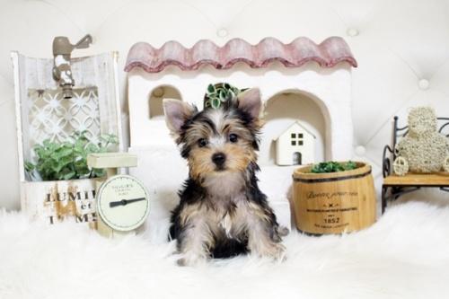 ヨークシャーテリアの子犬(ID:1255411928)の3枚目の写真/更新日:2018-03-09