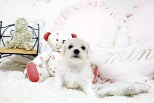 ビションフリーゼの子犬(ID:1255411929)の1枚目の写真/更新日:2018-03-09