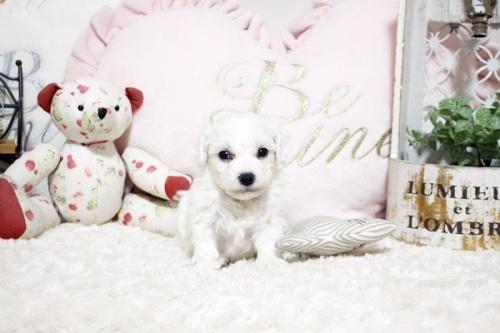ビションフリーゼの子犬(ID:1255411929)の2枚目の写真/更新日:2018-03-09