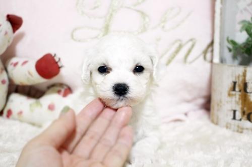 ビションフリーゼの子犬(ID:1255411929)の3枚目の写真/更新日:2018-03-09