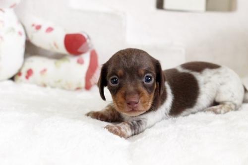 カニンヘンダックスフンド(ワイアー)の子犬(ID:1255411930)の1枚目の写真/更新日:2018-03-15