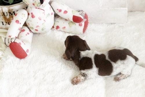 カニンヘンダックスフンド(ワイアー)の子犬(ID:1255411930)の3枚目の写真/更新日:2018-03-15
