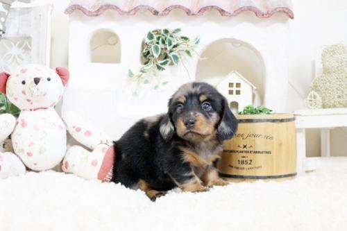 カニンヘンダックスフンド(ロング)の子犬(ID:1255411931)の1枚目の写真/更新日:2019-04-09