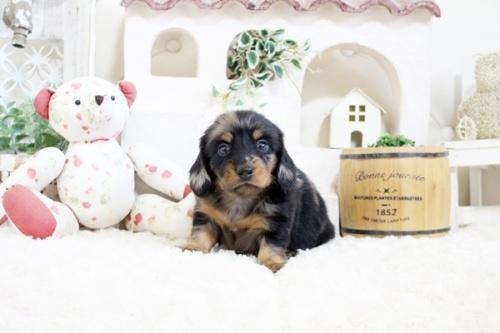 カニンヘンダックスフンド(ロング)の子犬(ID:1255411931)の2枚目の写真/更新日:2019-04-09