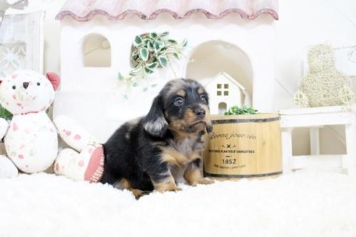 カニンヘンダックスフンド(ロング)の子犬(ID:1255411931)の3枚目の写真/更新日:2019-04-09