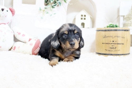 カニンヘンダックスフンド(ロング)の子犬(ID:1255411931)の4枚目の写真/更新日:2021-04-29