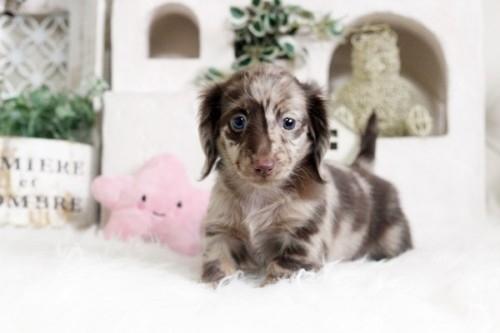 カニンヘンダックスフンド(ワイアー)の子犬(ID:1255411932)の1枚目の写真/更新日:2018-03-15