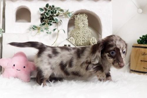 カニンヘンダックスフンド(ロング)の子犬(ID:1255411932)の2枚目の写真/更新日:2019-04-09