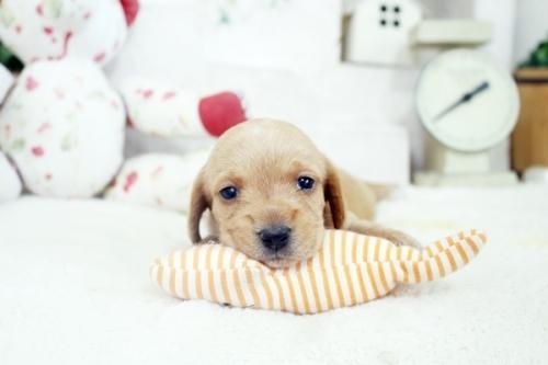 カニンヘンダックスフンド(ロング)の子犬(ID:1255411933)の1枚目の写真/更新日:2020-06-05