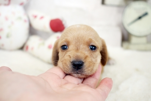 カニンヘンダックスフンド(ワイアー)の子犬(ID:1255411933)の2枚目の写真/更新日:2018-03-15