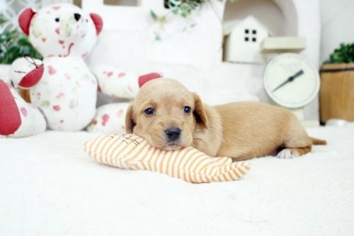 カニンヘンダックスフンド(ロング)の子犬(ID:1255411933)の3枚目の写真/更新日:2020-06-05