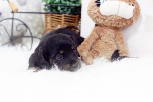 カニンヘンダックスフンド(ロング)の子犬(ID:1255411934)の2枚目の写真/更新日:2019-04-23