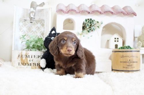 チワワ(ロング)の子犬(ID:1255411935)の1枚目の写真/更新日:2018-03-23