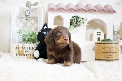チワワ(ロング)の子犬(ID:1255411935)の2枚目の写真/更新日:2018-03-23