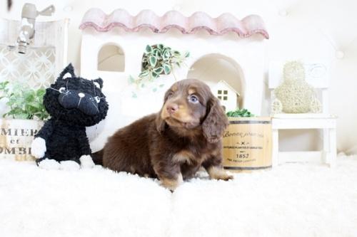 チワワ(ロング)の子犬(ID:1255411935)の3枚目の写真/更新日:2018-03-23