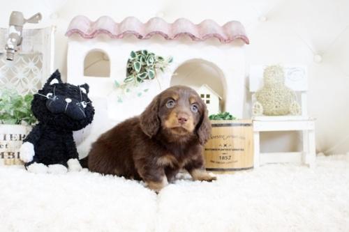 チワワ(ロング)の子犬(ID:1255411935)の4枚目の写真/更新日:2018-03-23