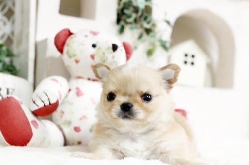 チワワ(ロング)の子犬(ID:1255411936)の1枚目の写真/更新日:2018-03-23