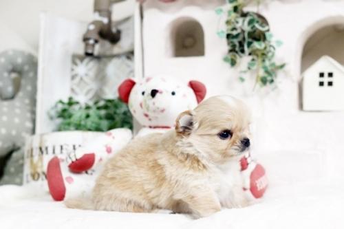 チワワ(ロング)の子犬(ID:1255411936)の2枚目の写真/更新日:2018-03-23