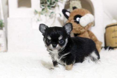 チワワ(ロング)の子犬(ID:1255411937)の1枚目の写真/更新日:2018-04-17