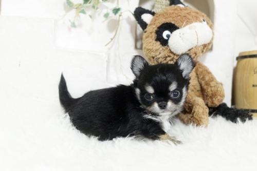 チワワ(ロング)の子犬(ID:1255411937)の3枚目の写真/更新日:2018-04-17