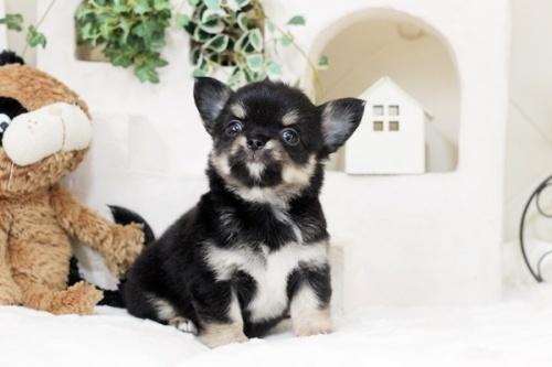 チワワ(ロング)の子犬(ID:1255411938)の1枚目の写真/更新日:2018-03-23