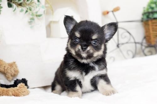 チワワ(ロング)の子犬(ID:1255411938)の2枚目の写真/更新日:2018-03-23