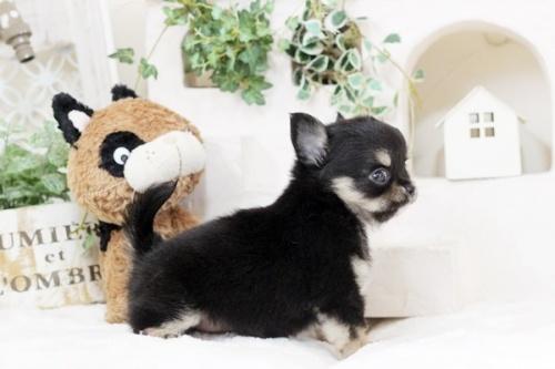 チワワ(ロング)の子犬(ID:1255411938)の3枚目の写真/更新日:2018-03-23